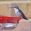 Ruby-throated Hummingbird <br /> Visiting front window feeder <br /> Bridgeton, MO <br /> 2018-10-28 16:19:17