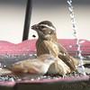 Rose-breasted Grosbeak <br /> Front yard <br /> Bridgeton, Mo.<br /> 2018-10-03 12:16:29