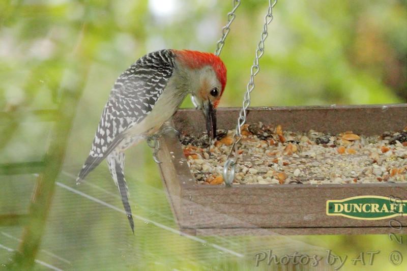 Red-breasted Woodpecker <br /> Backyard feeder in kitchen window <br /> Bridgeton, MO <br /> 2018-10-26 10:29:42