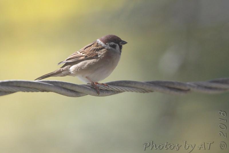 Eurasian Tree Sparrow <br /> Bridgeton, MO <br /> 2018-10-28 12:32:21