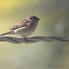 Eurasian Tree Sparrow <br /> Bridgeton, MO <br /> 2018-10-28 12:32:21