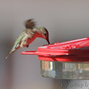 Ruby-throated Hummingbird <br /> Backyard feeder <br /> Bridgeton, Mo. <br /> 2018-10-27 10:55:08