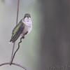 Ruby-throated Hummingbird <br /> Visiting front yard feeder in window <br /> Bridgeton, MO <br /> 2018-10-04 13:07:33