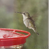 Ruby-throated Hummingbird <br /> Visiting front window feeder <br /> Bridgeton, MO <br /> 2018-10-26 08:52:07