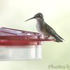 Ruby-throated Hummingbird <br /> Visiting front yard feeder in window <br /> Bridgeton, MO <br /> 2018-10-05 11:16:27