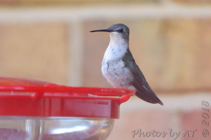Ruby-throated Hummingbird <br /> Visiting front window feeder <br /> Bridgeton, MO <br /> 2018-10-28 16:19:12