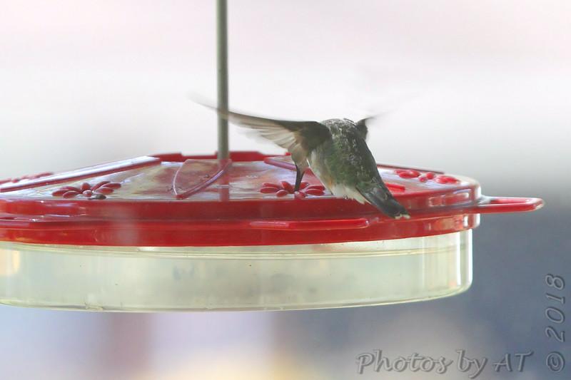 Ruby-throated Hummingbird <br /> Visiting front window feeder <br /> Bridgeton, MO <br /> 2018-10-24 12:52:21