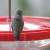 Ruby-throated Hummingbird <br /> Visiting front window feeder <br /> Bridgeton, MO <br /> 2018-10-31 11:45:20