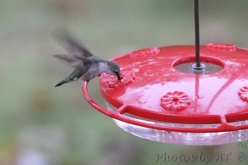 Ruby-throated Hummingbird <br /> Backyard feeder <br /> Bridgeton, MO <br /> 2018-10-26 12:13:44