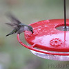 Ruby-throated Hummingbird <br /> Backyard feeder <br /> Bridgeton, MO <br /> 2018-10-26 12:13:44