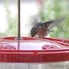 Ruby-throated Hummingbird <br /> Visiting front window feeder <br /> Bridgeton, MO <br /> 2018-10-24 11:00:14