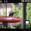 Ruby-throated Hummingbird <br /> Visiting front yard feeder <br /> Bridgeton, MO <br /> 2018-10-24 11:25:15