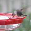 Ruby-throated Hummingbird <br /> Visiting front window feeder <br /> Bridgeton, MO <br /> 2018-10-25 09:13:36