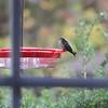 Ruby-throated Hummingbird <br /> Visiting front window feeder <br /> Bridgeton, MO <br /> 2018-10-30 10:51:28