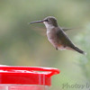 Ruby-throated Hummingbird <br /> Visiting front window feeder <br /> Bridgeton, MO <br /> 2018-10-26 10:05:41