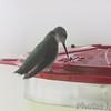Ruby-throated Hummingbird <br /> Visiting front yard feeder in window <br /> Bridgeton, MO <br /> 2018-10-04 13:07:54