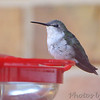 Ruby-throated Hummingbird <br /> Visiting front window feeder <br /> Bridgeton, MO <br /> 2018-10-28 16:19:12