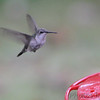 Ruby-throated Hummingbird <br /> Backyard feeder <br /> Bridgeton, MO <br /> 2018-10-26 12:13:38