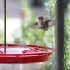 Ruby-throated Hummingbird <br /> Visiting front window feeder <br /> Bridgeton, MO <br /> 2018-10-24 11:00:15