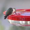 Ruby-throated Hummingbird <br /> Visiting front window feeder <br /> Bridgeton, MO <br /> 2018-10-29 09:08:15