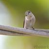 Ruby-throated Hummingbird <br /> Visiting backyard feeders <br /> Bridgeton, MO <br /> 2018-10-05 11:42:07