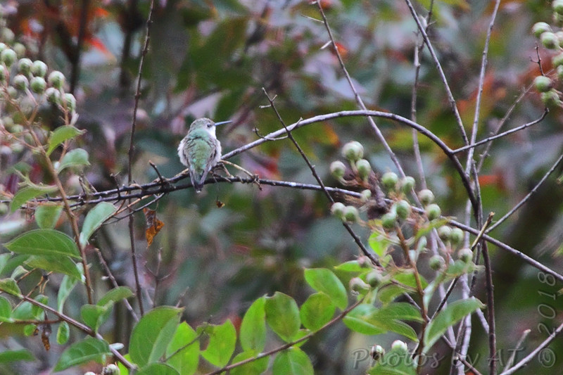 Ruby-throated Hummingbird <br /> Across my backyard <br /> Bridgeton, Mo. <br /> 2018-10-26 12:10:33