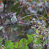 Ruby-throated Hummingbird <br /> Across my backyard <br /> Bridgeton, Mo. <br /> 2018-10-26 12:10:33