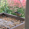 Red-breasted Nuthatch <br /> (iPhone 6s photo) <br /> Backyard feeder in kitchen window <br /> Bridgeton, Mo. <br /> 2018-10-25 13:17:06