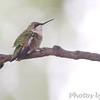 Ruby-throated Hummingbird <br /> Visiting backyard feeders <br /> Bridgeton, MO <br /> 2018-10-04 15:01:24