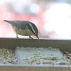Red-breasted Nuthatch <br /> Backyard feeder in kitchen window <br /> Bridgeton, Mo.<br /> 2018-10-24 12:53:12