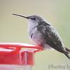 Ruby-throated Hummingbird <br /> Visiting front window feeder <br /> Bridgeton, MO <br /> 2018-10-30 10:48:59