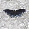 Red-spotted Purple <br /> Cora Island <br /> Big Muddy National Fish and Wildlife Refuge