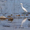 Snowy Egret <br /> Spillway marsh <br /> Riverlands Migratory Bird Sanctuary