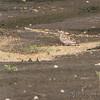Horned Lark (juvenile) <br /> Cora Island Road