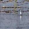 Little Blue Heron (juvenile) <br /> Spillway marsh <br /> Riverlands Migratory Bird Sanctuary
