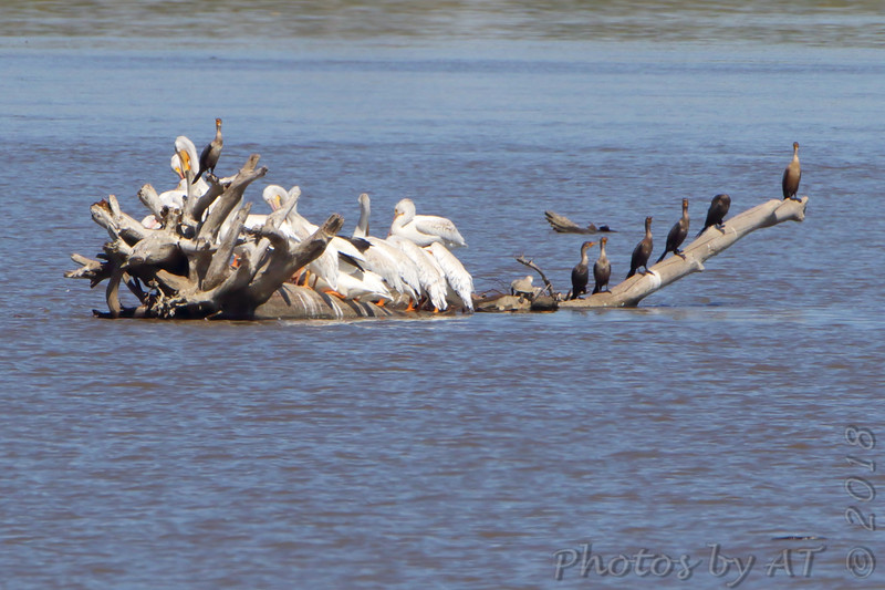 American White Pelicans <br /> and Double Crested Cormorants <br /> Ellis bay <br /> Riverlands Migratory Bird Sanctuary
