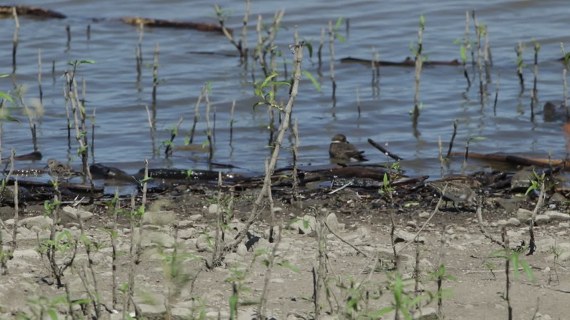 """Semipalmated Plover <br> Ellis Bay <br> Riverlands Migratory Bird Sanctuary <br> 2018-09-10 14:03:56 <br>  <span class=""""noShowSmart""""> <a href=""""/MyKeywords/Bird-Videos/n-gF9bt/i-Thkbx26/A""""> <span style=""""color:yellow"""">Click here to open video in lightbox/full screen</span></a> </span>  <span class=""""noShowGallery""""> <a href=""""/Birds/2018-Birding/Birding-2018-September/2018-09-10-Riverlands-Migratory-Bird-Sanctuary/i-Thkbx26/A""""> <span style=""""color:yellow"""">Click here to open video in lightbox/full screen</span></a> </span>"""