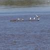 Caspian Terns <br /> Ellis bay <br /> Riverlands Migratory Bird Sanctuary