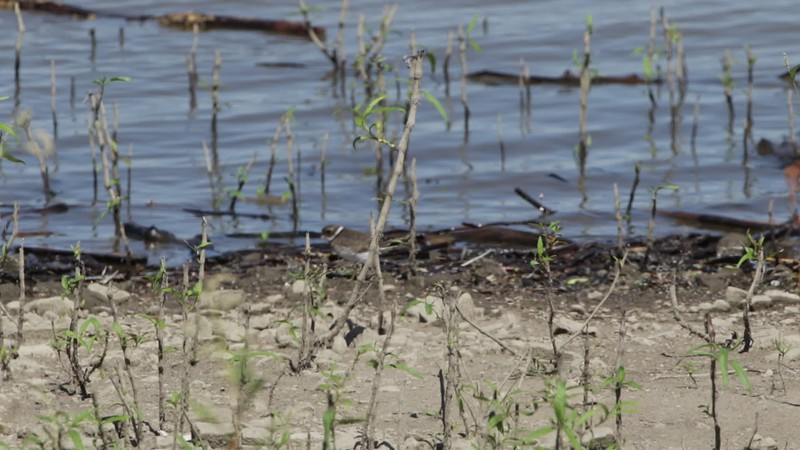 """Semipalmated Plover <br> Ellis Bay <br> Riverlands Migratory Bird Sanctuary <br> 2018-09-10 14:03:56 <br>  <span class=""""noShowSmart""""> <a href=""""/MyKeywords/Bird-Videos/n-gF9bt/i-f68RQ7G/A""""> <span style=""""color:yellow"""">Click here to open video in lightbox/full screen</span></a> </span>  <span class=""""noShowGallery""""> <a href=""""/Birds/2018-Birding/Birding-2018-September/2018-09-10-Riverlands-Migratory-Bird-Sanctuary/i-f68RQ7G/A""""> <span style=""""color:yellow"""">Click here to open video in lightbox/full screen</span></a> </span>"""