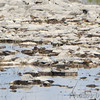 Semipalmated Plovers and Killdeer <br /> Spillway marsh <br /> Riverlands Migratory Bird Sanctuary