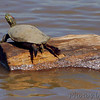 Red-eared slider <br /> Ellis Bay <br /> Riverlands Migratory Bird Sanctuary