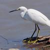 Snowy Egret <br /> Ellis Bay <br /> Riverlands Migratory Bird Sanctuary