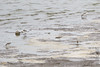Sanderlings <br /> Ellis Bay <br /> Riverlands Migratory Bird Sanctuary