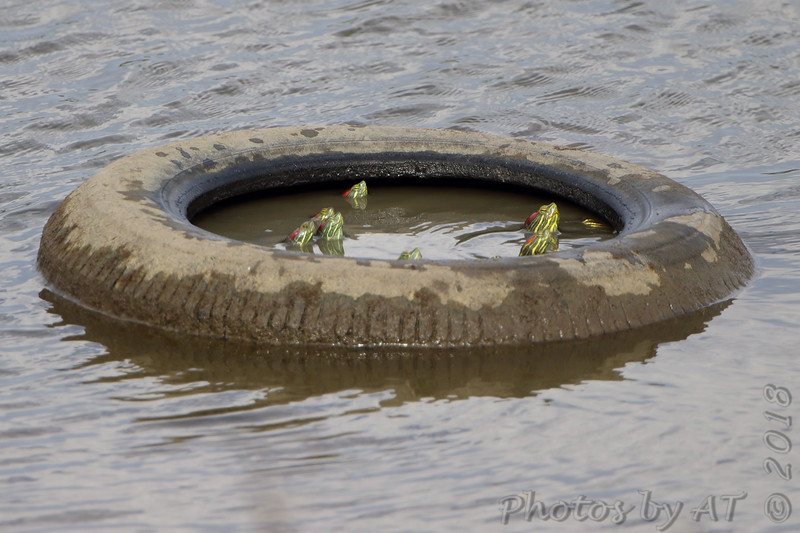 Red-eared Sliders trapped in tire  <br /> Ellis Bay <br /> Riverlands Migratory Bird Sanctuary