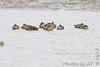Green-winged Teal<br /> Ellis Bay <br /> Riverlands Migratory Bird Sanctuary
