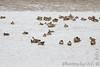 Green-winged Teal and Northern Shoveler <br /> Ellis Bay <br /> Riverlands Migratory Bird Sanctuary