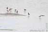 Stilt Sandpipers and Pectoral Sandpiper <br /> Ellis Bay <br /> Riverlands Migratory Bird Sanctuary
