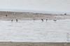 Stilt Sandpipers <br /> Ellis Bay <br /> Riverlands Migratory Bird Sanctuary