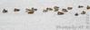 Green-winged Teal  • Northern Shoveler <br /> Ellis Bay <br /> Riverlands Migratory Bird Sanctuary