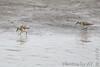 Pectoral Sandpipers <br /> Ellis Bay <br /> Riverlands Migratory Bird Sanctuary